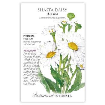 Shasta Daisy Alaska