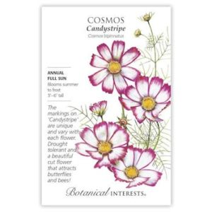 Cosmos Candystripe
