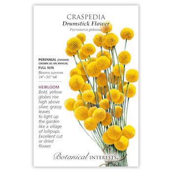 Drumstick Flower Craspedia Seeds