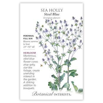 Steel Blue Sea Holly Seeds, Heirloom